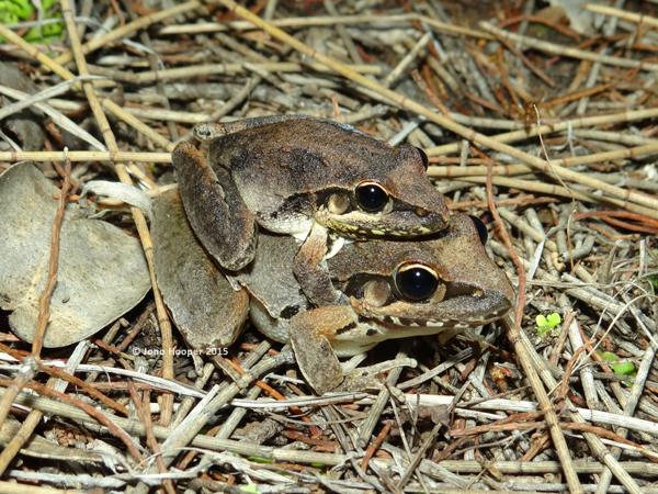 Broad-palmed Rocketfrogs (Litoria latopalmata) in amplexus