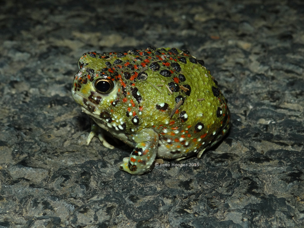 Holy Cross Frog (Notaden bennettii). Funnily enough, this is one of the best ways to find this awesomely decorated, tennis ball sized burrower!