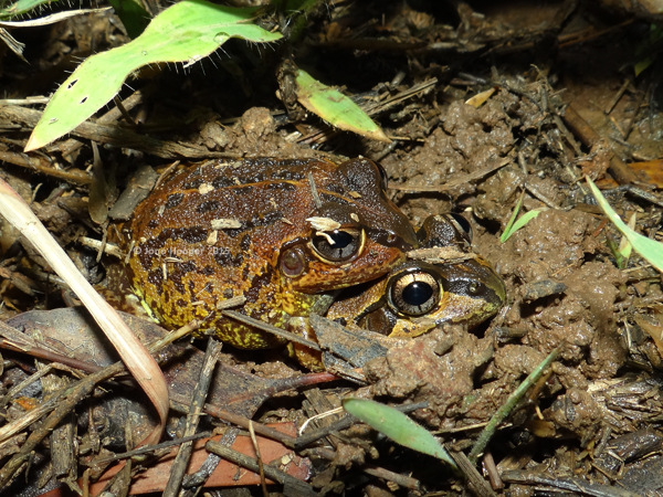 Green-stripe Frogs (Cyclorana brevipes) in amplexus.