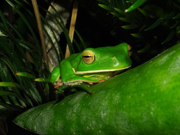 White-lipped Treefrog (Litoria infrafrentata)