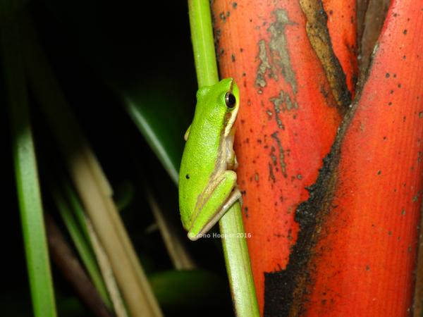 Northern Dwarf Treefrog (Litoria bicolor)