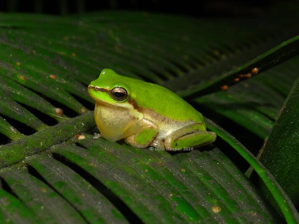Eastern Sedgefrog (Litoria fallax)