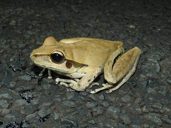 Southern Stony-creek Frog (Litoria wilcoxii)