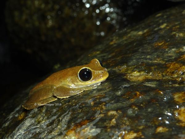 Australian Lace-lid (Litoria dayi)
