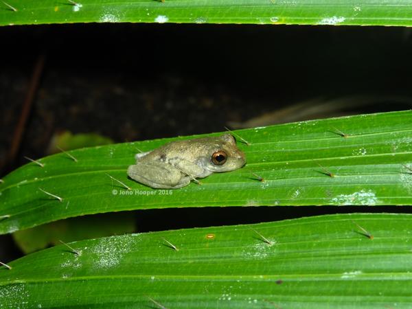 Juvenile Common Mistfrog (Litoria rheocola).
