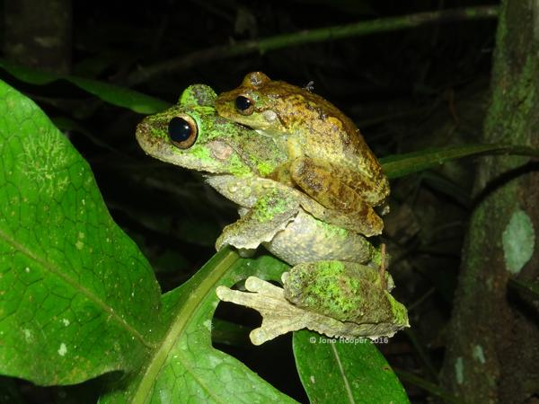 Stunning Green-eyed Treefrogs (Litoria serrata) in amplexus.