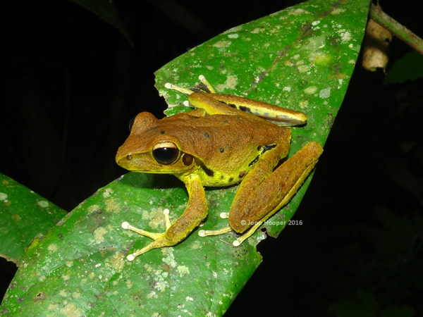 Northern Stony-creek Frog (Litoria jungguy)