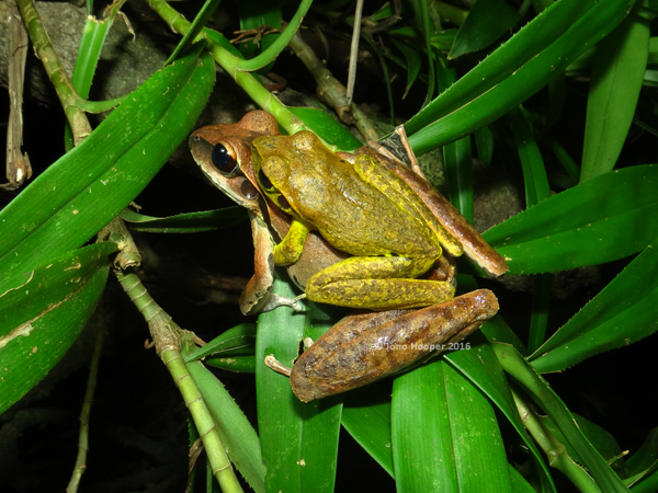 Northern Stony-creek Frogs (Litoria jungguy) in amplexus.