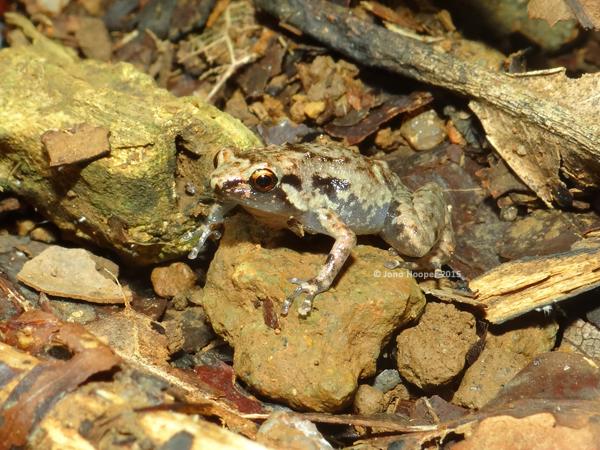 Creaking Nursery Frog (Cophixalus infacetus)
