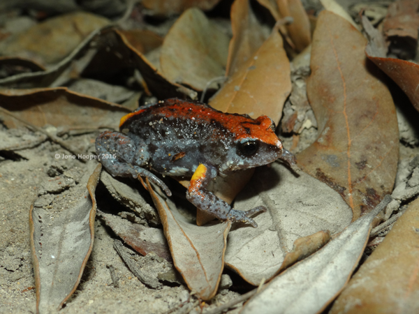 Magnificent Broodfrog (Pseudophryne covacevichae)