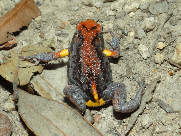 Magnificent Broodfrog (Pseudophryne covacevichae) dorsal shot.
