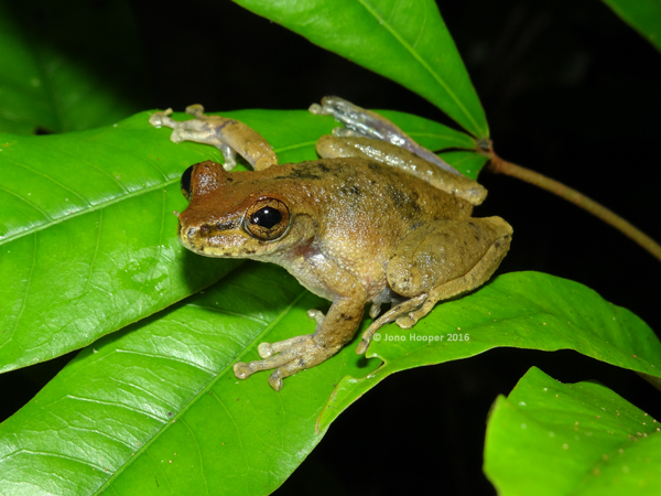 Common Mistfrog (Litoria rheocola), female.