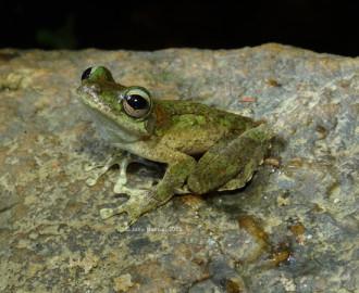 Kuranda Treefrog (Litoria myola)