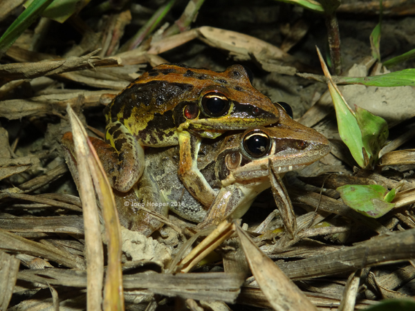 Striped Rocketfrogs (Litoria nasuta) in amplexus