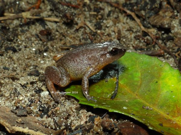 Peeping Whistling Frog (Austrochaperina fryi)