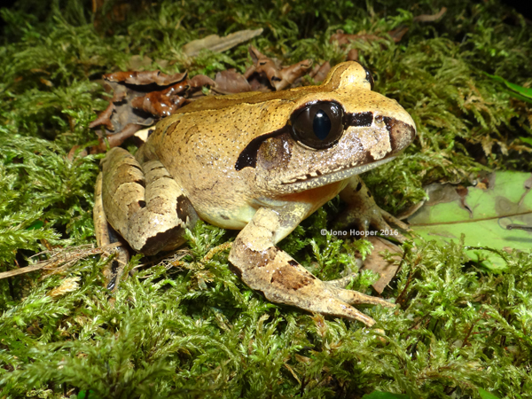 Carbine Barred Frog (Mixophyes carbinensis
