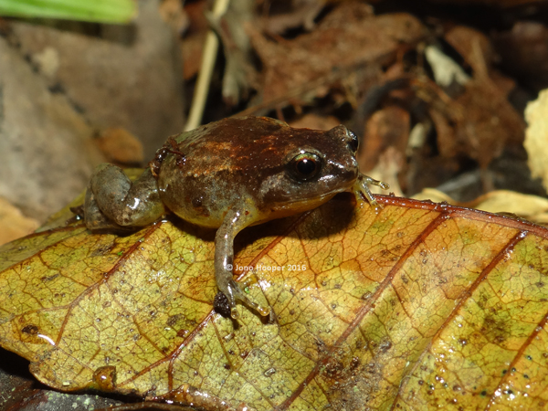 Tapping Nursery Frog (Cophixalus aenigma)