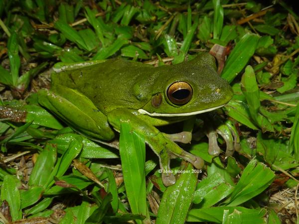 White-lipped Treefrog (Litoria infrafrenata)