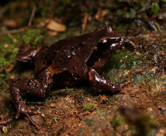 Masked Mountain Frog ()Philoria loveridgei)