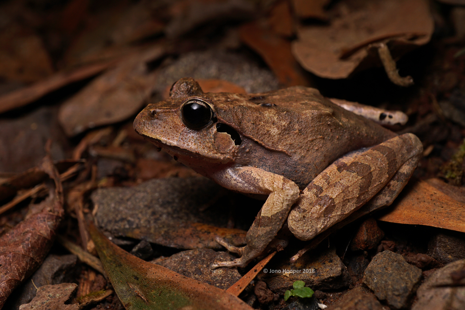 Black-soled Frog (Lechriodus fletcheri)