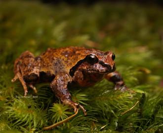 Sphagnum Frog (Philoria sphagnicola)