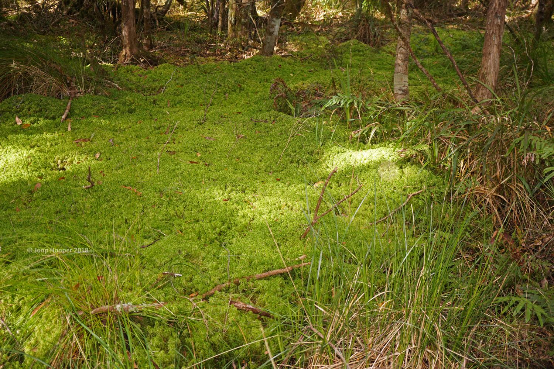 Sphagnum bog, home to the Sphagnum Frog
