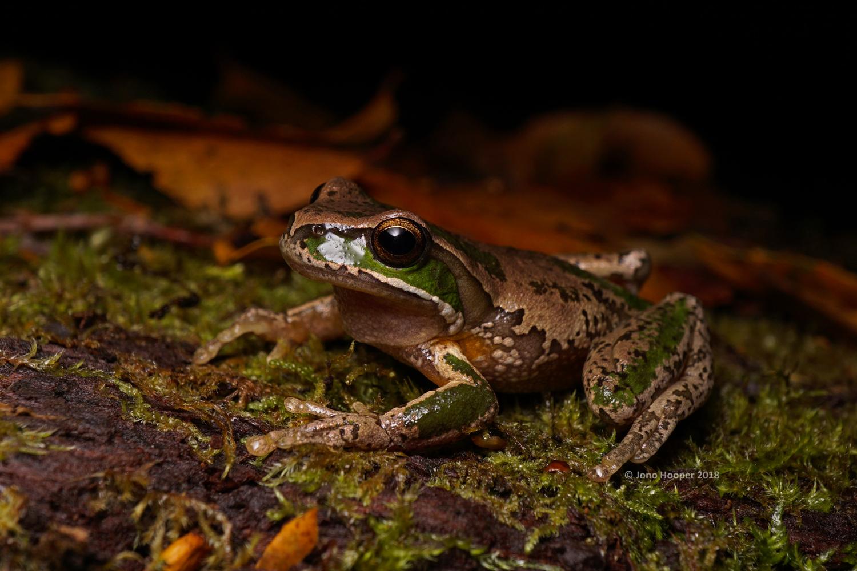 New England Treefrog (Litoria subglandulosa)