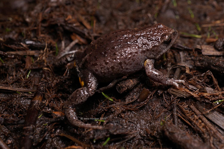 New England Pseudophryne (Pseudophryne sp.)