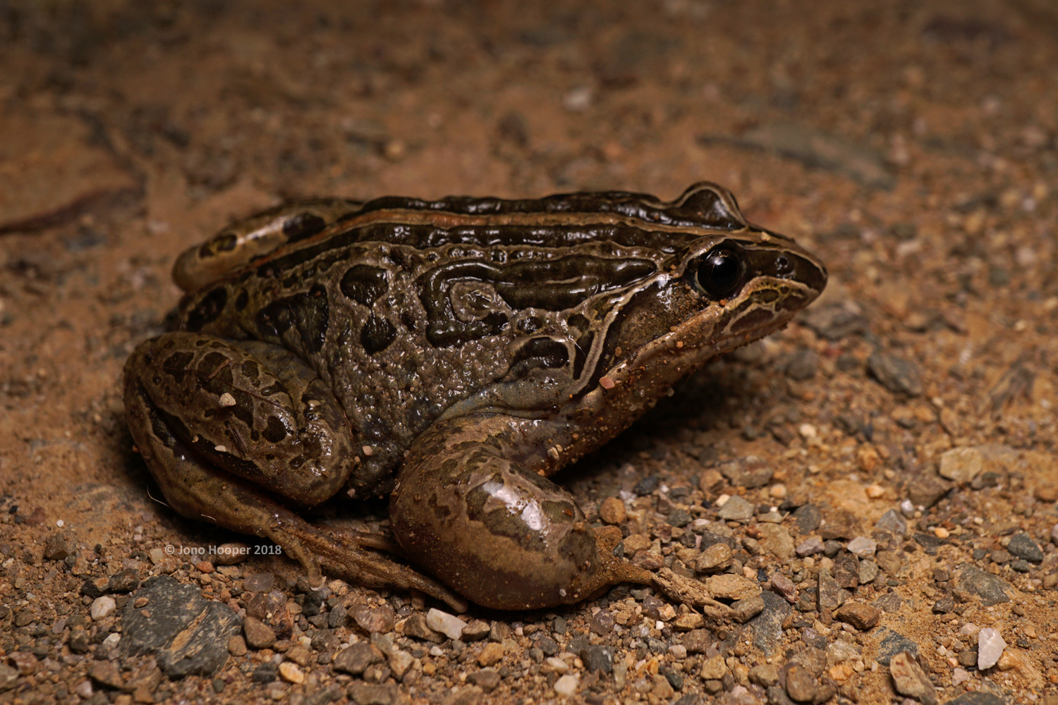 Striped Marshfrog (Limnodynastes peronii). Check out the biceps on this rig!