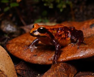 Pugh's Mountain Frog (Philora pughi)