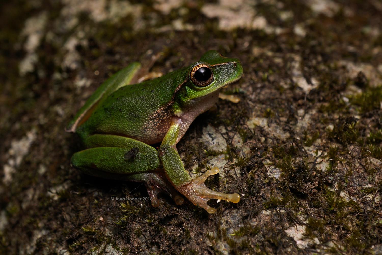 Barrington Tops Treefrog (Litoria barringtonensis)