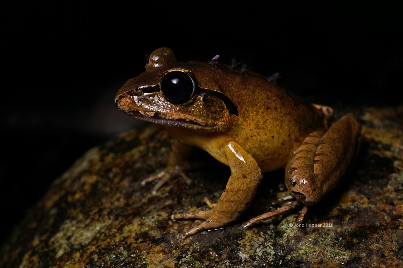 Stuttering Frog (Mixophyes balbus)