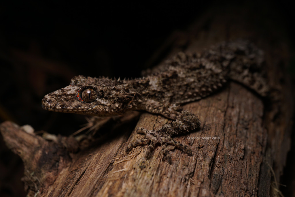 Granite Belt leaf-tail gecko (Saltuarius wyberba)