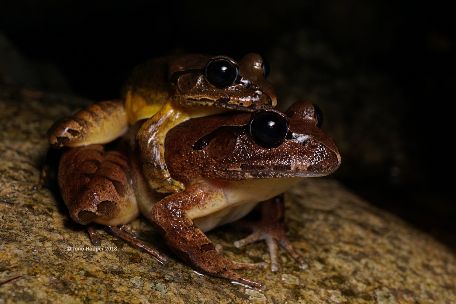 Stuttering Frogs (Mixophyes balbus) in amplexus (mating position).