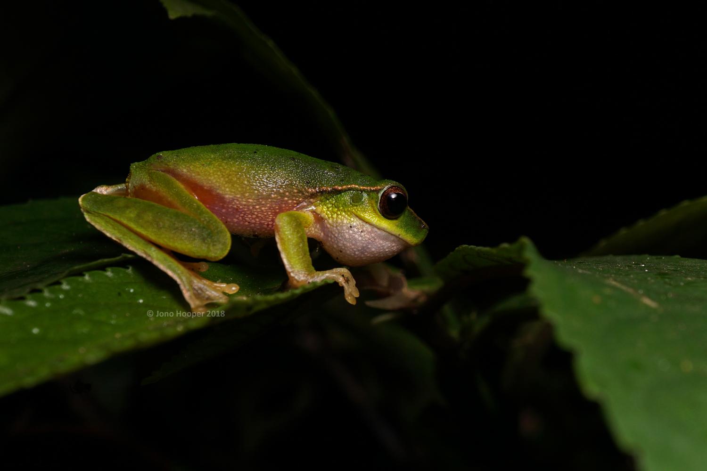 Barrington Tops Treefrog (Litoria barringtonensis) calling for a mate.