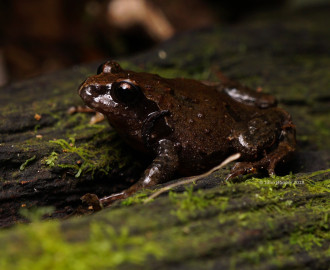 Richmond Range Mountain Frog (Philoria richmondensis)