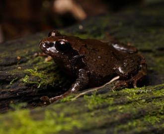 Richmond Range Mountain Frog (Philoria richmondensis)