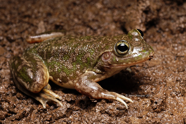Northern waterfrog (Litoria dahlii)