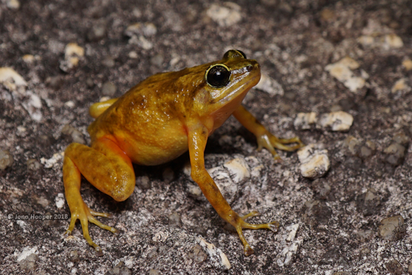 Black Mountain Boulder Frog (female) (Cophixalus saxatilis)