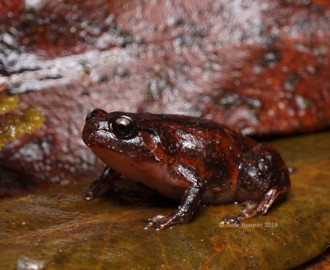 Bartle Frere Nursery Frog (Cophixalus neglectus), a species endemic to these mountains.