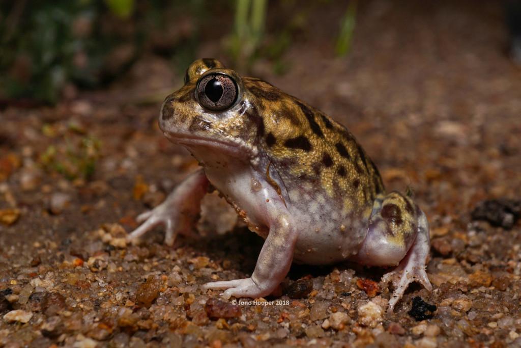 Kunapalari Trilling Frog (Neobatrachus kunapalari)