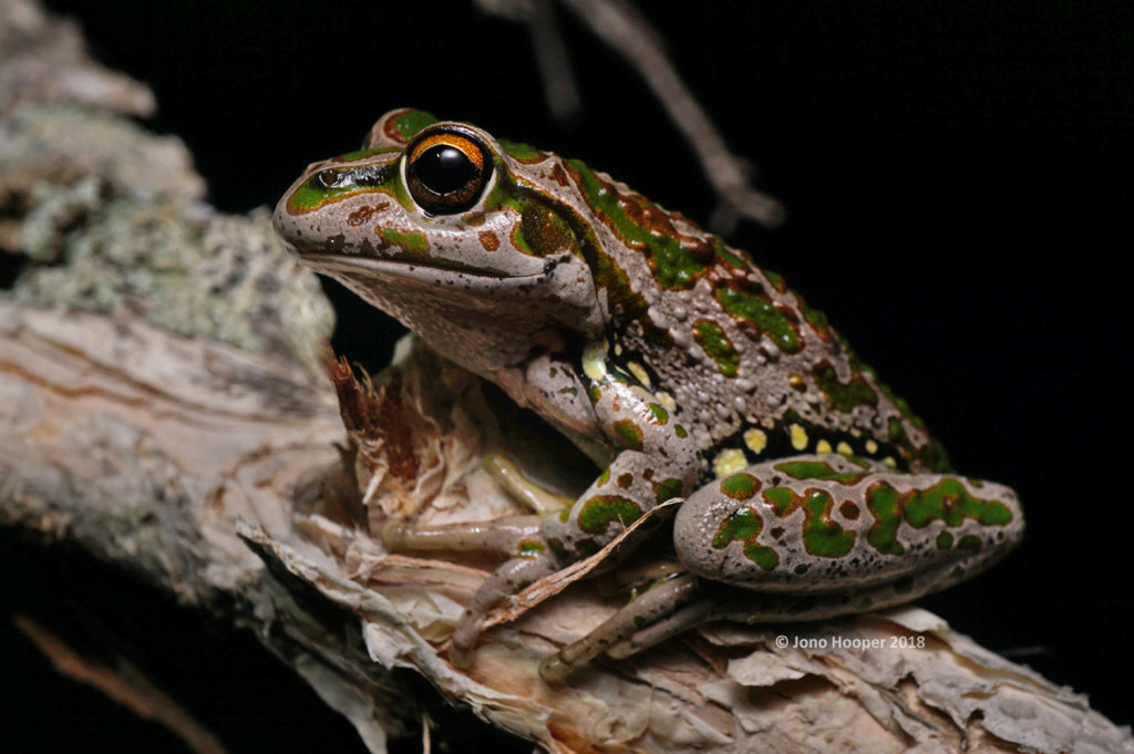 Spotted-thighed Bell Frog (Litoria cycloryncha)