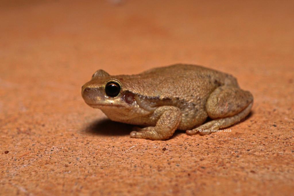 Desert Treefrog (Litoria rubella)