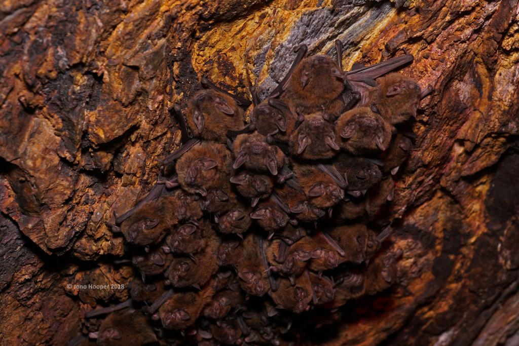 Inland Cave Bats (Vespadelus finlaysoniI)