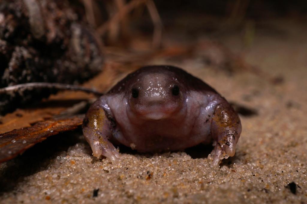 Turtle Frog (Myobatrachus gouldii)