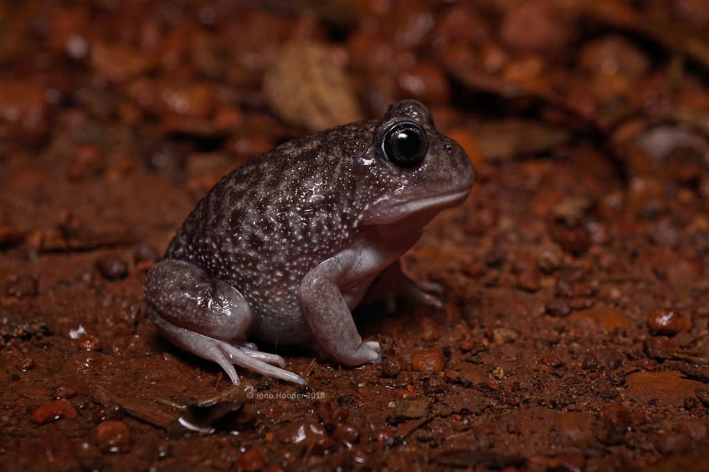 Sand Owl Frog (Heleioporus psammophilus)