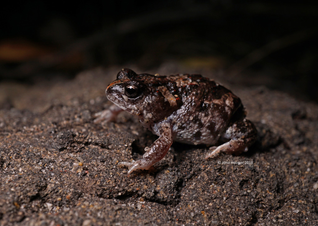 Guenther's Brood Frog AKA Crawling Toadlet (Pseudophryne guentheri)