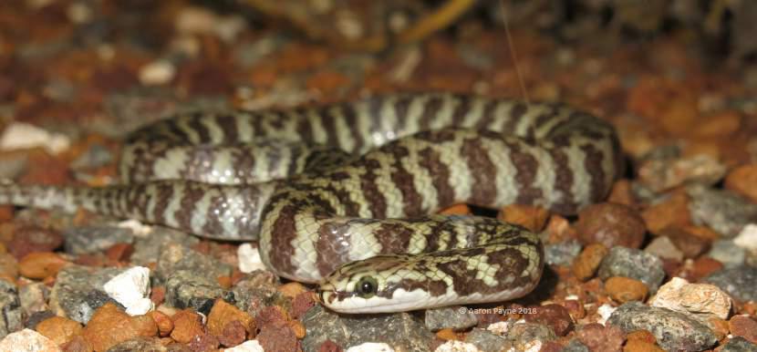 Rosen's Snake (Suta fasciata)