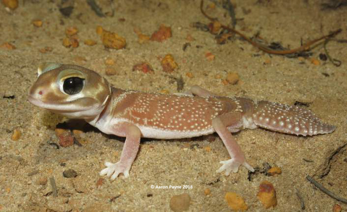 Smooth Knob-tail Gecko (Nephrurus levis occidentalis)