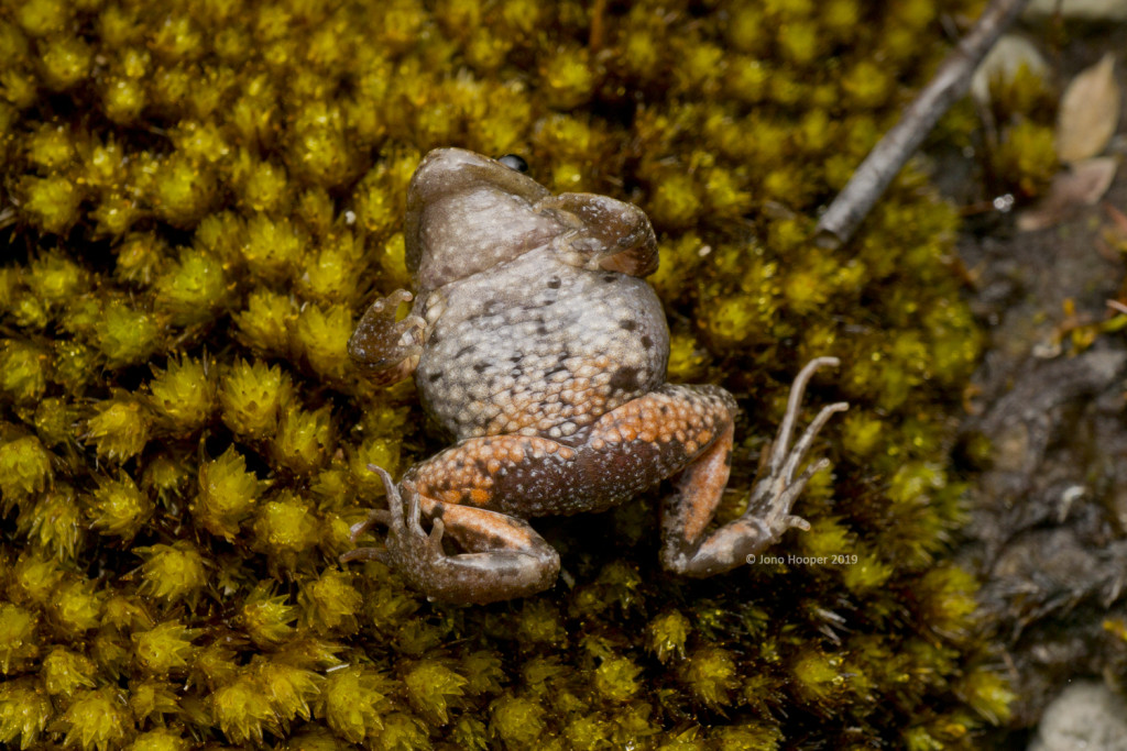 Tasmanian Froglet (Crinia tasmaniansis) ventral shot showing red colouration underneath legs and thighs.